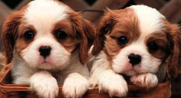 Puppy scam rorting potential pet owners across Melbourne - Cyber security news