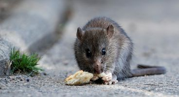 Rats break the internet: Sky broadband goes down in London after rodents munch cables