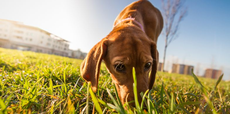 dog,sniffing,puppy,hound,outdoors,and,animal,animals,brown,canine,care,cheerful,curiosity,cute,domestic,eyes,following,horizontal,indoors,interest,looking,maremman,nose,pets,playful,portrait,purebred,sitting,sunflare,track
